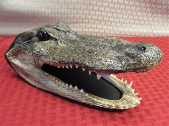 HES WATCHING YOU --- ALLIGATOR FOR YOUR WINDOW! REAL TAXIDERMY ALLIGATOR HEAD